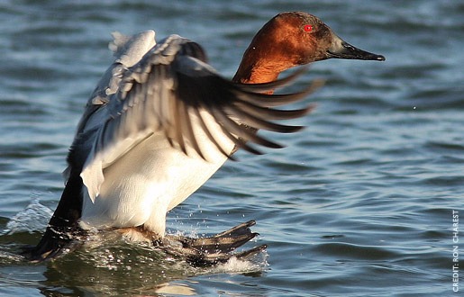 canvasback1.jpg