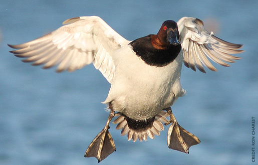 canvasback2.jpg