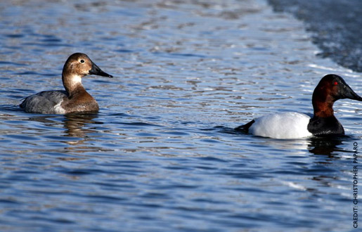 canvasback3.jpg