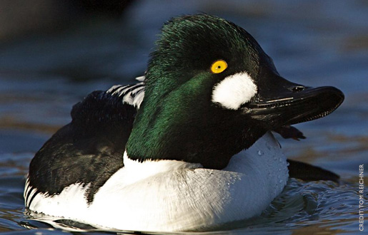 golden eyed duck