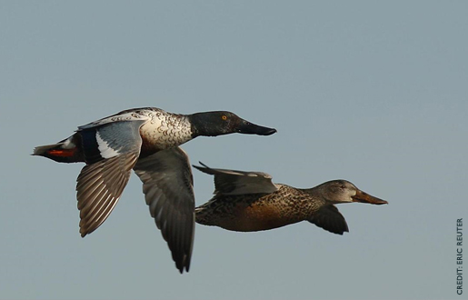 northernShoveler1.jpg