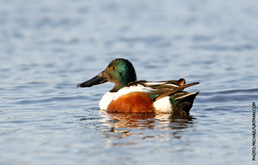 northernShoveler_upd_7.jpg