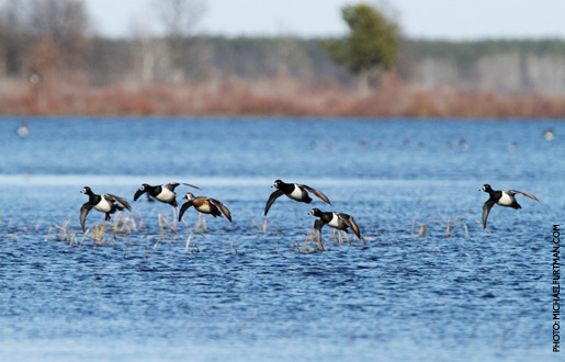 Ring Necked Duck Recipes