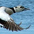 Steller&#39;s Eider